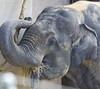 Smithsonian National Zoo Tues 23 July 2013  (87)Asian Elephant (smata2) Tags: elephant nature animals zoo washingtondc dc wildlife nationalzoo animales animalplanet asianelephant nationscapital smithsoniannationalzoo itsazoooutthere zoosofnorthamerica