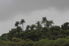 Palm ((mloclam)) Tags: palm monsoon vasai vasaifort