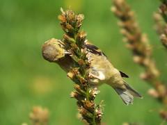 Female American Goldfinch (Cambirder5) Tags: usa female goldfinch young f65 iso american cameron 200 finepix fujifilm mm birder granger farrell in 1400 1722 s8200