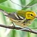 Black-Throated Green Warbler, Female