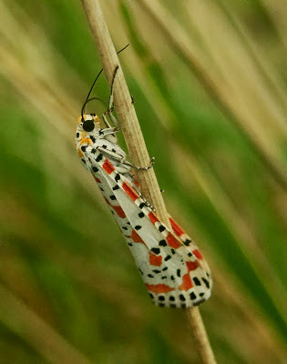 """Crimson-spotted Moth, Old Town, 29.09.13, Kris Webb • <a style=""""font-size:0.8em;"""" href=""""http://www.flickr.com/photos/30837261@N07/10016522233/"""" target=""""_blank"""">View on Flickr</a>"""