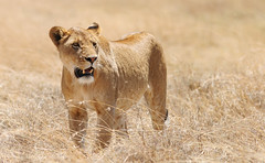 Not All That Glitters Is Gold (AnyMotion) Tags: africa travel nature grass animals cat tanzania gold tiere reisen wildlife ngc natur lion 2006 npc afrika katze ngorongorocrater lioness lwe tansania pantheraleo lwin anymotion