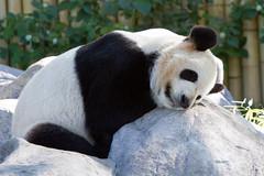 Da Mao (digitalattempt) Tags: toronto ontario animals panda giantpanda torontozoo zoosofnorthamerica