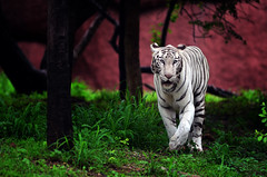 Pride (jkdreamzone) Tags: india zoo wildlife tiger whitetiger bengaltiger