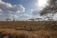 20131020-_MG_7921 (sirsirrus) Tags: africa cloud sun tree nature weather animals mammal tiere buffalo flora natur wolke afrika bovidae sonne baum sonnenstrahlen wetter paarhufer tansania horntrger bffel eventoedungulate ruminantia sugetiere wiederkuer