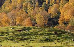 Red Deer (Cervus elaphus) and Autumn colours (Dave N Roach) Tags: reddeer cervuselaphus highlandwildlifeparkkingcraiginvernessshirescotland