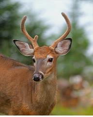 Maine-deer-2013-vp  (Odocoileus virginianus) (egdc211) Tags: nationalgeographic odocoileusvirginianus whitetaildeer mainewildlife tomhegandeer rockwoodmainedeer