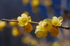 a springlike picture (photoholic image) Tags: winter plant flower nature lumix panasonic chimonanthus  floweringplant  gx7 micro43 microfourthirds voigtlandernokton25mmf095 nokton25mmf095 dmcgx7 lumixgx7 panasonicdmcgx7 vision:sunset=0566 lumixdmcgx7 vision:sky=0875 vision:plant=0795 vision:outdoor=0567 vision:flower=0584