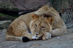 Afrikaanse leeuw - Panthera leo leo - African Lion (MrTDiddy) Tags: boy cat mammal zoo cub big kat feline leo african lion bigcat antwerp antwerpen zooantwerpen jong grote nestor leeuw jongen panthera zoogdier welp afrikaanse grotekat