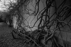 Vines on Wall (jer.johns) Tags: pictures winter blackandwhite white black fall wall photography washingtondc dc washington vines photos photographs walls tangled jerjohns 5yearjourney