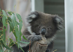 koala face (mel in japan) Tags: leaves australia koala canberra eucalyptus act tidbinbilla