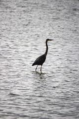 walking on water (bradleygee) Tags: ocean blackandwhite bird water neck texas crane ripple longneck walkingonwater southpadreislandbirdingandnaturecenter