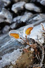 shs_n3_103275 (Stefnisson) Tags: winter ice frozen iceland frost leafs sland vetur lauf s klaki laufbl frosinn frosi stefnisson