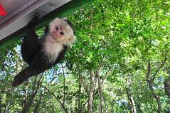 """Qu pasa?"" (River Wanderer) Tags: costarica 18200 paloverde capuchin whitefacedmonkey paloverdenationalpark d5000"