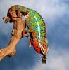 Chameleon Eating A Creobroter Mantis (scott cromwell) Tags: mantis eating lizard chameleon prayingmantis creobroter