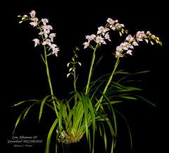Cymbidium Albanense 4N 'Geyserland' HCC/AD/AOS (Orchidelique) Tags: plant orchid flower nature ad exotic cym hybrid britishembassy hcc cymbidium aos insigne geyserland erythrostylum albanense4n