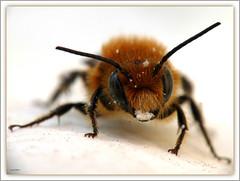 Calla con sorpresa !!! (Schano) Tags: macro animals closeup insect calla insects ape makro insetto macrofotografia macrofotografias photonature wonderfulworldofmacro fz28 panasoniclumixdmcfz28 panasonicdmcfz28 saariysqualitypictures panasoniclumixfz28 macrotele scattataconpanasonicdmcfz28 obbiettivoinvertiti135mm