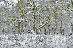 WANDERINGS THROUGH THE FOREST WHITE (DESPITE STRAIGHT LINES) Tags: park wood uk flowers trees winter england snow tree ice nature leaves digital forest photography snowflakes 50mm countryside aperture woods woodlands nikon flickr raw dof britain snowy grow iso foliage frame tentative bloom handheld getty footsteps snowing letitsnow blizzard nikondigital mothernature snowscene d800 deanmartin winterstale winterscene paulwilliams snowshowers nikondslr snowblizzard virginsnow awinterstale snowisfalling nikon70200mm wintryscene nikkor70200mm theenglishcountryside nikonuk footstepsinsnow nikond800 lesnesabbeypark despitestraightlines lesnesabbeyruins ilobsterit snowysvene letitsnowbydeanmartin nikkor70200mmf18g
