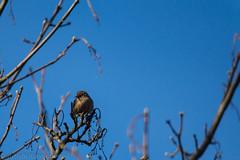pause for breath (RCB4J) Tags: bird nature scotland singing bluesky wren universityofglasgow guvs garscubeestate sigma150500mmf563dgoshsm sonyslta77v ronniebarron rcb4j