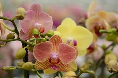 Orchid (Rene Mensen) Tags: orchid flower macro yellow de nikon rene micro 60mm kom kas mensen d5100