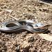 Alameda whipsnake