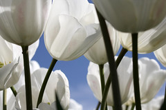 White Tulip (HeinzGuenther) Tags: flower nature natur tulip tulpe