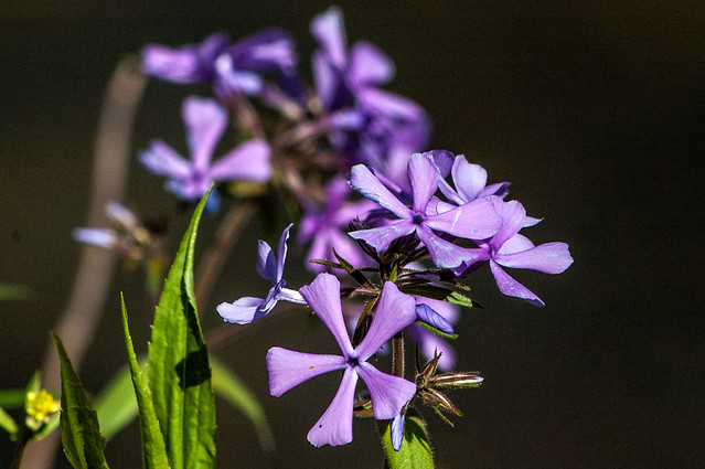 Cedar Bluffs Nature Preserve - Wild blue phlox - April 19, 2014