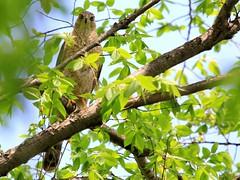 Cooper's hawk IMG_6939 (lreis_naturalist) Tags: hawk reis larry coopers