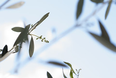 225/365 (MegsPhotosUK) Tags: blue trees sky plants cloud plant tree art leaves lines clouds 50mm leaf stem arty artistic olive 365 olivetree project365 365project