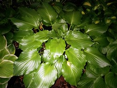 H. 'Irish Luck' is fragrant (moccasinlanding) Tags: green dark shiny fragrant hosta irishluck flickrandroidapp:filter=none