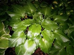 H. 'Irish Luck' is fragrant (moccasinlanding) Tags: green dark shiny fragrant hosta irishluck flickrandroidapp:filter=none