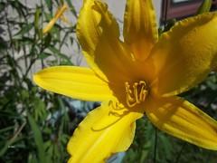 R.U.M. 2 (~nevikk~) Tags: macro yellow lily myfrontyard lilyplant