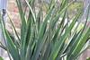 IMG_4513 (cheryl's pix) Tags: california cactus berkeley botanicgarden botanicalgardens botanicalgarden botanicgardens berkeleyca berkeleybotanicalgarden ucbotanicalgarden universityofcaliforniabotanicalgarden universityofcaliforniabotanicalgardenatberkeley