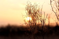 Late Winter Sunset 2 (kisnikee) Tags: winter sunset brown flower dead lights spring weed warm
