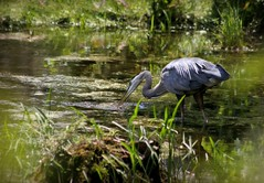 Blue Heron 2 (Doris Burfind) Tags: bird heron nature fishing feeding wildlife blueheron waterfowl