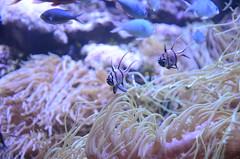 Banggai Cardinalfish, Pterapogon kauderni - Sydney Aquarium (avlxyz) Tags: aquarium sydney australia sydneyaquarium fb5