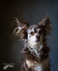 Feeling dark. (Penelope Malby Photography) Tags: dog brown chihuahua studio photographer surrey smalldog oil impressionist oldmaster dapple dogphotography gallery1 dogportrait surreyphotographer handbagdog dogstudiophotography penelopemalbyphotography
