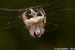 Agalenatea redii (Scopoli, 1763) (Lus Gaifm) Tags: macro spider spinne araa pk spindel araigne arachnida ragno aranha voras fo pajk edderkop  hmhkki    rmcek   kngul mblik agalenatearedii zirneklis aranhadeteiaradialderedi lusgaifm pnlitoralnorte
