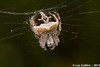 Agalenatea redii (Scopoli, 1763) (Luís Gaifém) Tags: macro spider spinne araña pók spindel araignée arachnida ragno aranha voras fão pająk edderkop паук hämähäkki クモ αράχνη павук örümcek עכביש 거미 kónguló ämblik agalenatearedii zirneklis aranhadeteiaradialderedi luísgaifém pnlitoralnorte