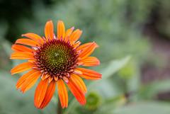 Orange Flower, Lakewalk, Duluth (Sharon Mollerus) Tags: minnesota unitedstates duluth