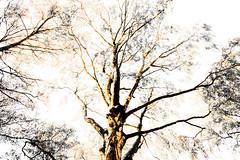 Birch (wide-angle.de) Tags: digital germany de top500 treesi y201212 y201212treestop500