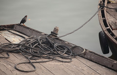 Bank Myna On Boat (peterkelly) Tags: digital india asia canon 6d varanasi bankmyna myna bird wooden boat rowboat rope tire water gangesriver tied