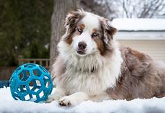 11-52 Della, Just Waiting (janecumming33) Tags: 52weeksfordogs australianshepherds aussies dogs pets snow