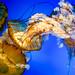 Pacific sea nettle 5 - National Aquarium