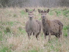 Red deer (deannewildsmith) Tags: earthnaturelife deer reddeer chasewater cannockchase animal staffordshire