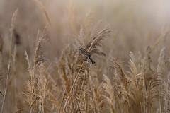 Female Reed Bunting (marcello.machelli) Tags: rosso sparrow bird poetry poesia uccello passero fly volo rest summer riposo estate nikon nikond810 wild delicate delicato harmony armonia femalereedbunting nigliarinodipalude