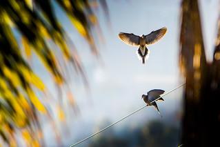 Mourning Doves in Morning Light