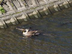 Duck and carps (odeleapple) Tags: olympus e5 zuiko digital 40150mm zd carp duck