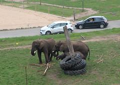 West Midland Safari Park, Five, Latabe and Sutton (Stuart Axe) Tags: uk gb england greatbritain five latabe sutton bewdley elephantvalley elephant elephants wildlife africanelephant worcestershire safari safaripark westmidlandsafaripark zoo