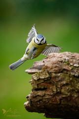 Blue Tit (ABPhotosUK) Tags: animals birds bluetit canon cyanistescaeruleus dartmoor devon ef100400mmisii eos7dmarkii garden inflight paridae seasons spring tits wildlife